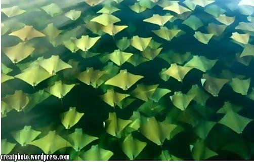 Fenomena ini dapat dilihat sebanyak 2 kali dalam setahun di Teluk Mexico. Dianggarkan 10 ribu ikan pari dari Semenanjung Yucatan akan berhijrah ke Florida ketika musim bunga dan akan membuat perjalanan pulang pada musim luruh.
