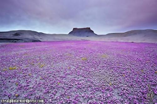 Padang pasir yang ditumbuhi dengan Phacelia (Scorpion Weed). Kejadian sebegini hanya terjadi sekali dalam beberapa tahun.