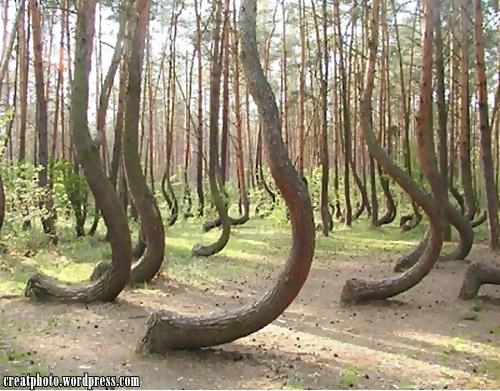 Pokok pokok ini telah dijumpai tumbuh dalam hutan berdekatan Gryfino, Poland. Sebab dan punca yang menjadikan semua pokok ini tumbuh sedemikian masih kekal misteri.